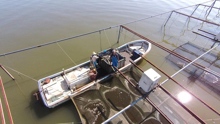 霞ヶ浦沖合いの鯉養殖場